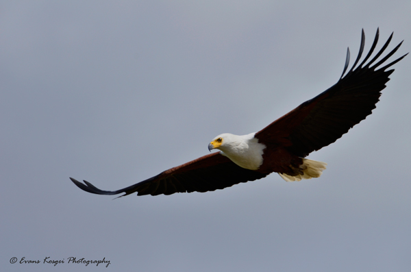 16-x-24-landscapeafrican-fish-eagle-nnp-to-print