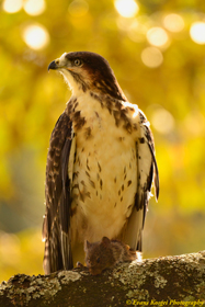 16-x-24-portrait-augur-buzzard-and-its-kill-to-print