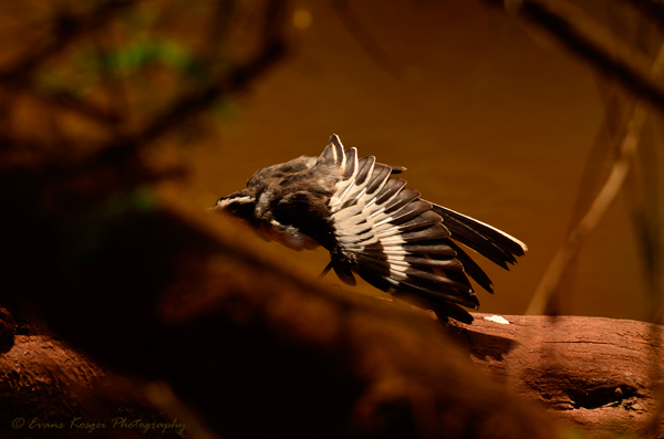 african-pied-wagtail-low-key-image-to-print