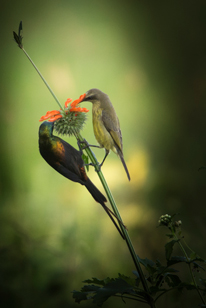 bronze-male-sunbird-and-its-female-sharing-some-happines