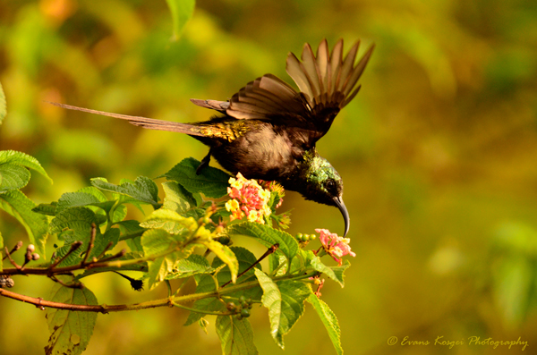 bronze-sunbird-reaching-for-that-sweet-nectar-to-print