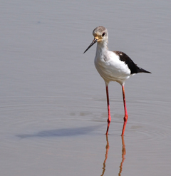 common-stilt-elongated-illusion-nnp-to-print