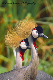 grey-crowned-crane-lovers-nnp