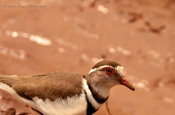 three-banded-plover-nnp